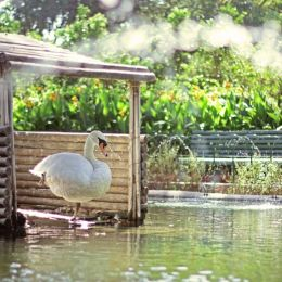 BeautifulSwan