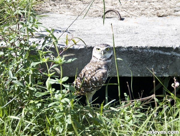 Ground Owl