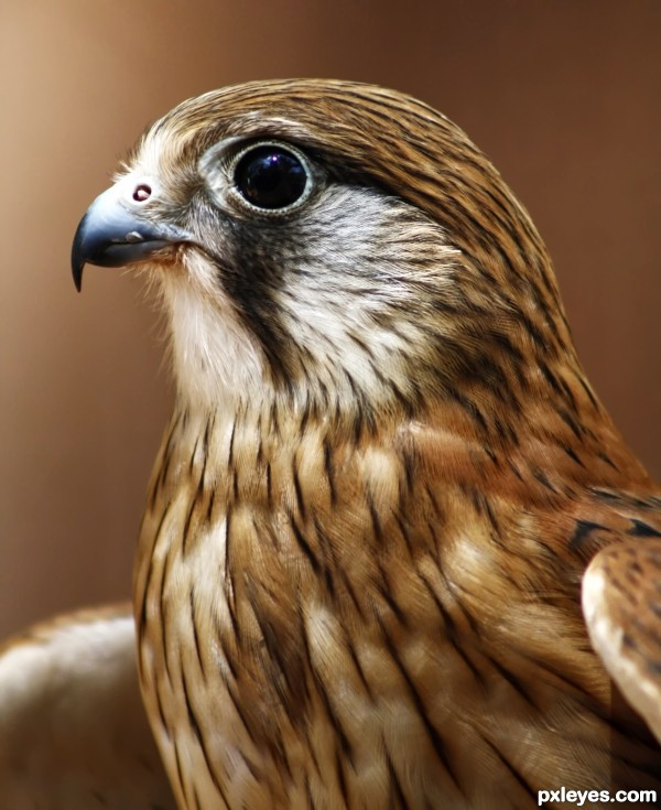 Nankeen Kestrel photoshop picture)