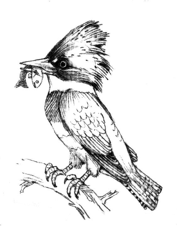 Line Drawing Kingfisher : Kingfisher bird drawing