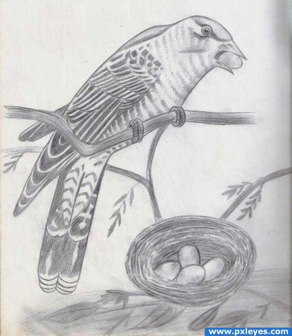 How To Draw Cuckoo Bird