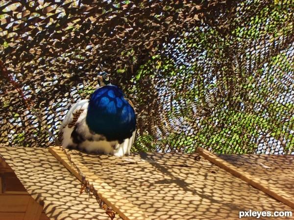 peacock nap