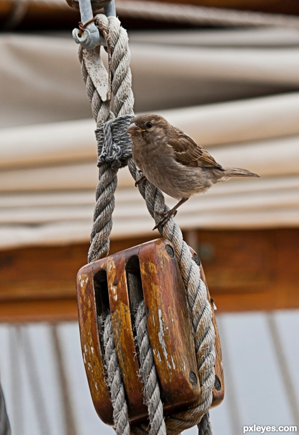 sparrow on boat photoshop picture)