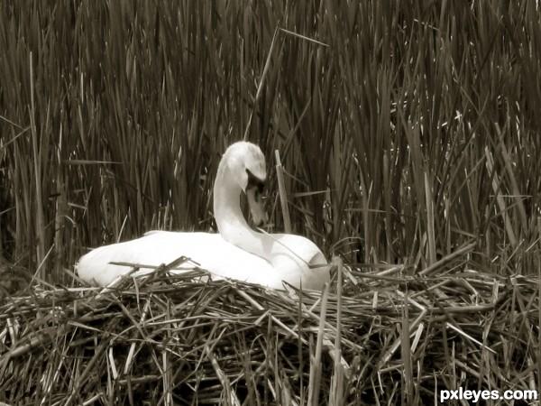 the Hardy Swan