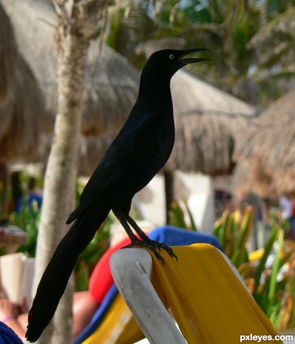 the blackest bird ever