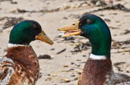 ChattingDucks