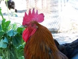 Cockylittlecock