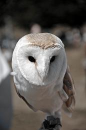 MaskedOwl
