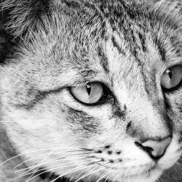 Staringcat