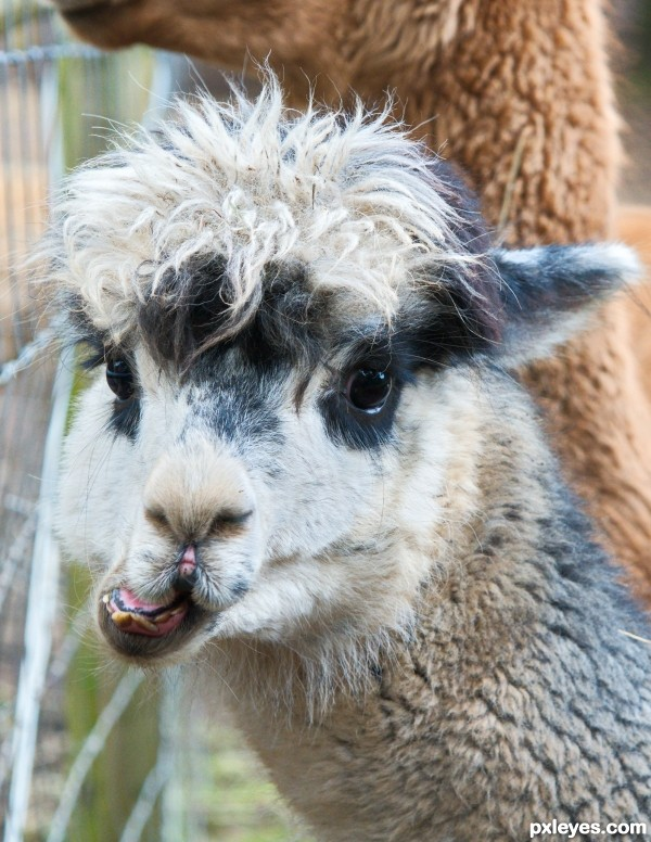 Bloody Hell, Whats an Alpaca?