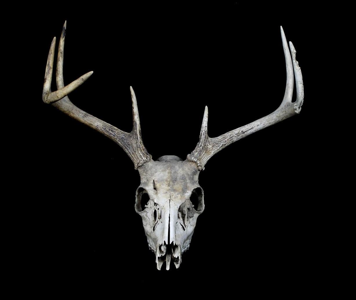 The gallery for --> Buck Deer Head Drawing