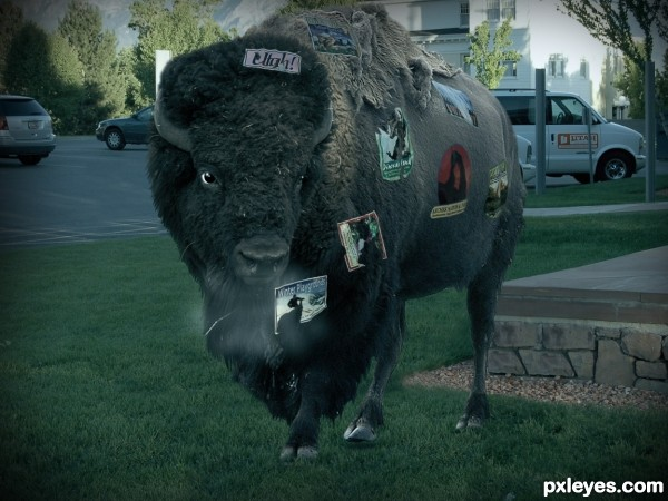 Bison goes home