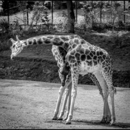 Giraffight