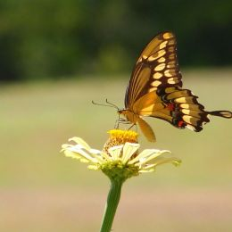 The Swallowtail Picture