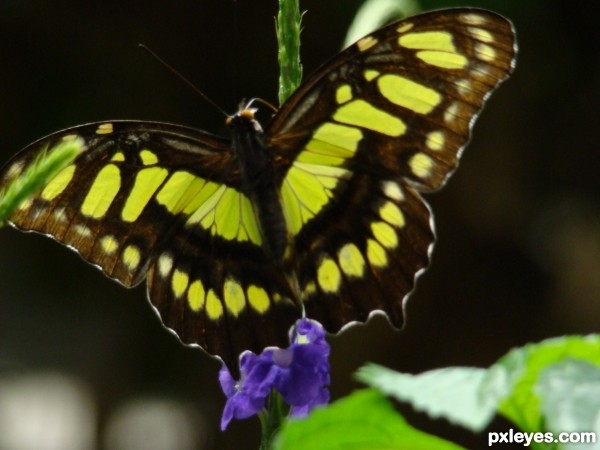 Butterfly Aura