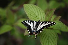 LevenworthButterfly