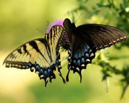 SwallowtailDuet