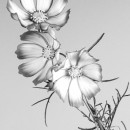bw flowers 2 photography contest