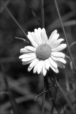 Ill Give You A Daisy A Day Dear...