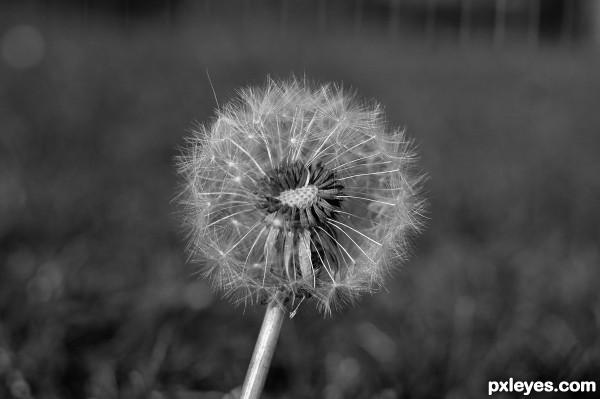 That Amazing Weed—The Dandelion