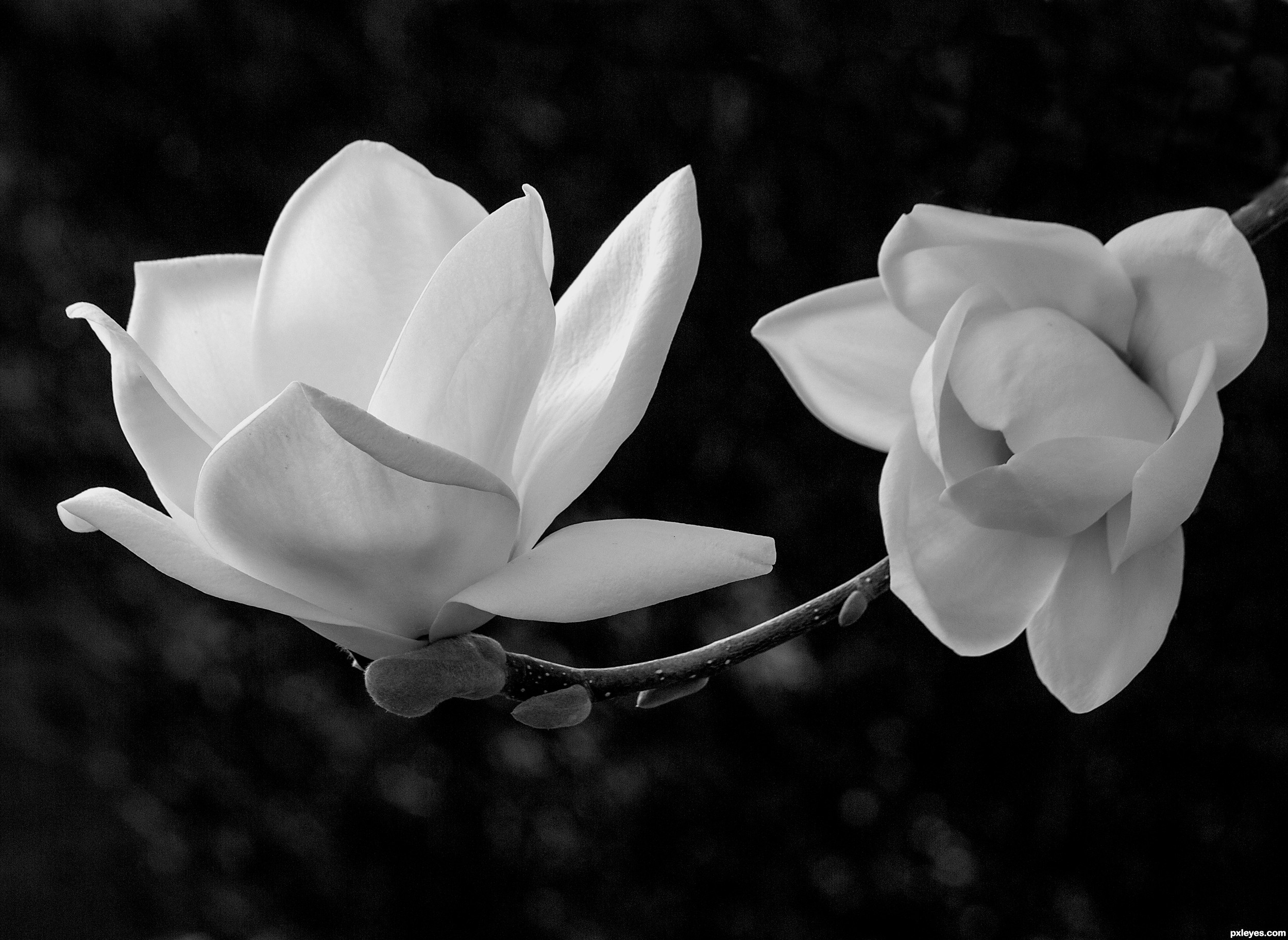 White Magnolia Picture By Friiskiwi For Bw Flowers Photography
