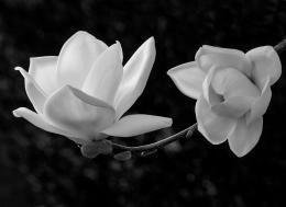 WhiteMagnolia