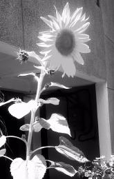 bwsunflower