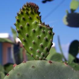 Cactusmactus