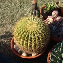 Goldenbarrelcactus