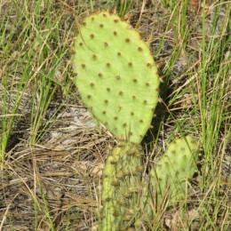 colorado cactus
