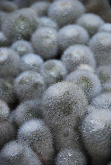white color cactus