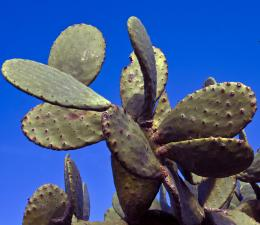 Cactiplural