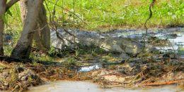 Crocodile in Hiding