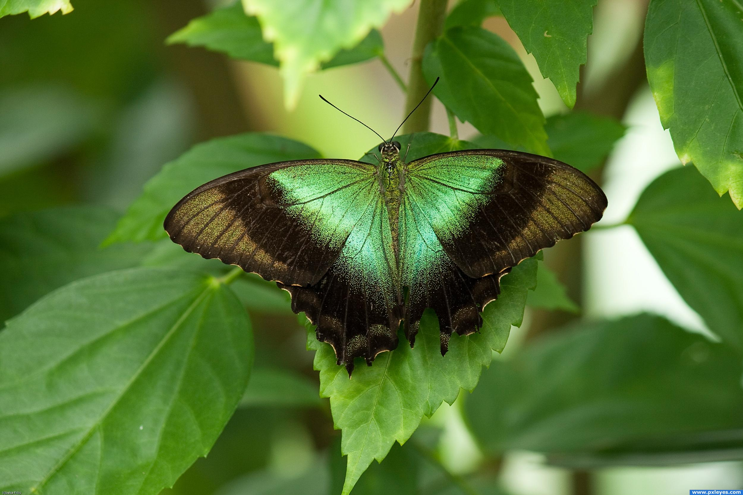 green butterfly on leaves picture, by friiskiwi for ...