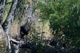 WildTurkey