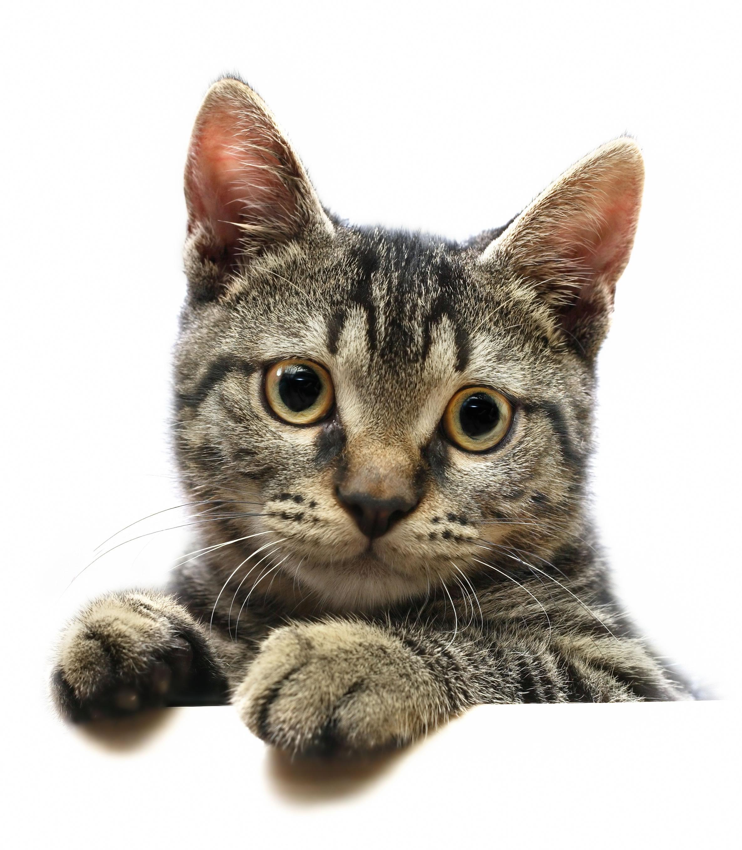 Photoshop Cat Face Cat Face Source Image
