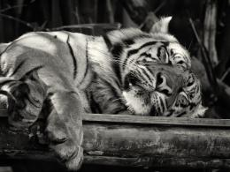 tigerZZZs