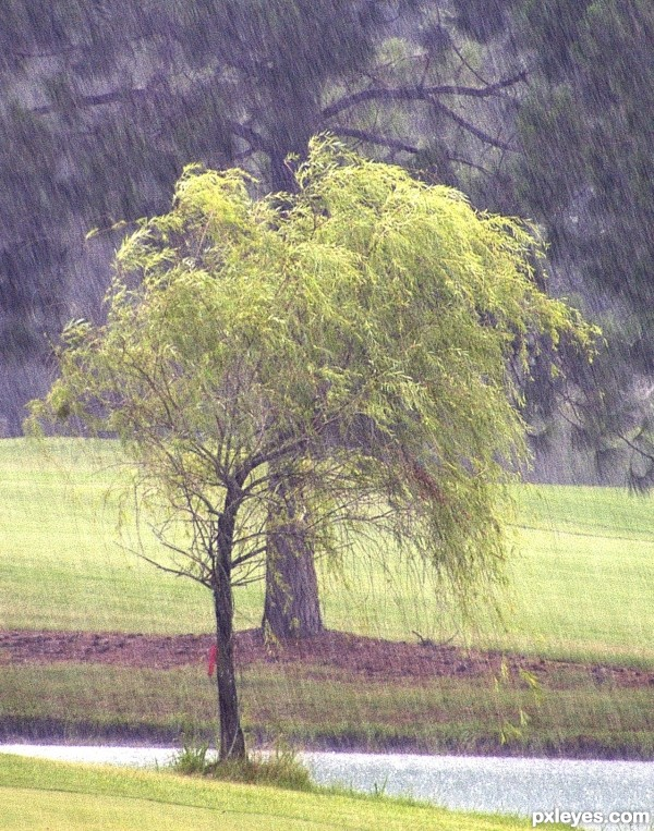 look of a weeping willow