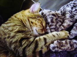 cat + blanket