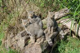 scotish wild cats