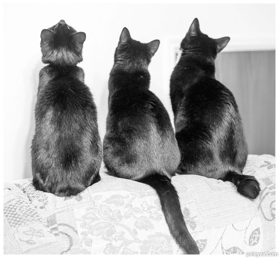 Manx Cats - different lengths of tail