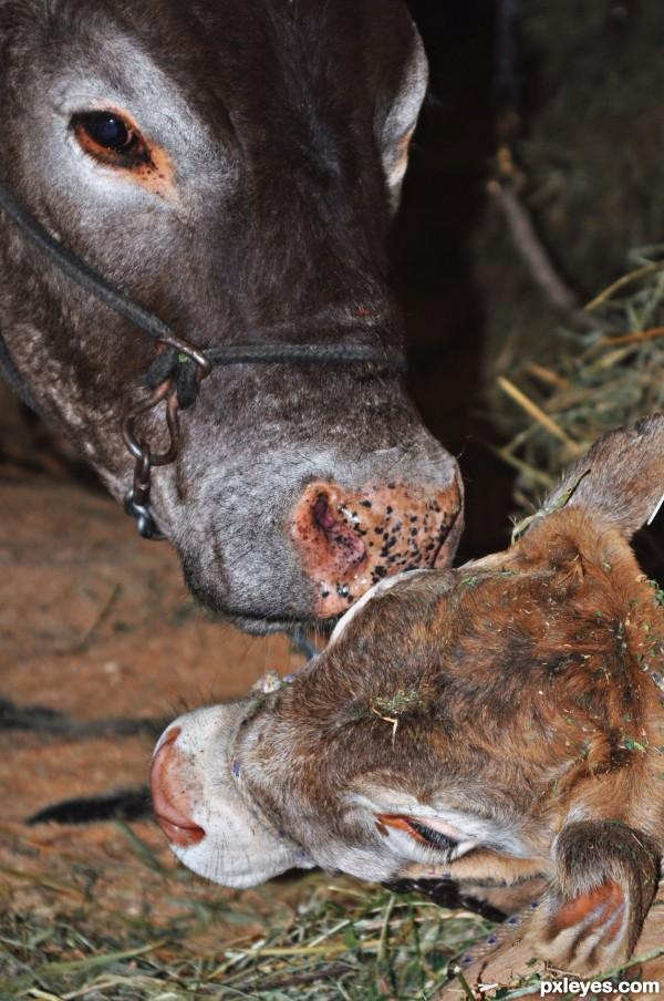 Calf with Proud Mum