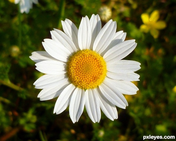 May Daisies