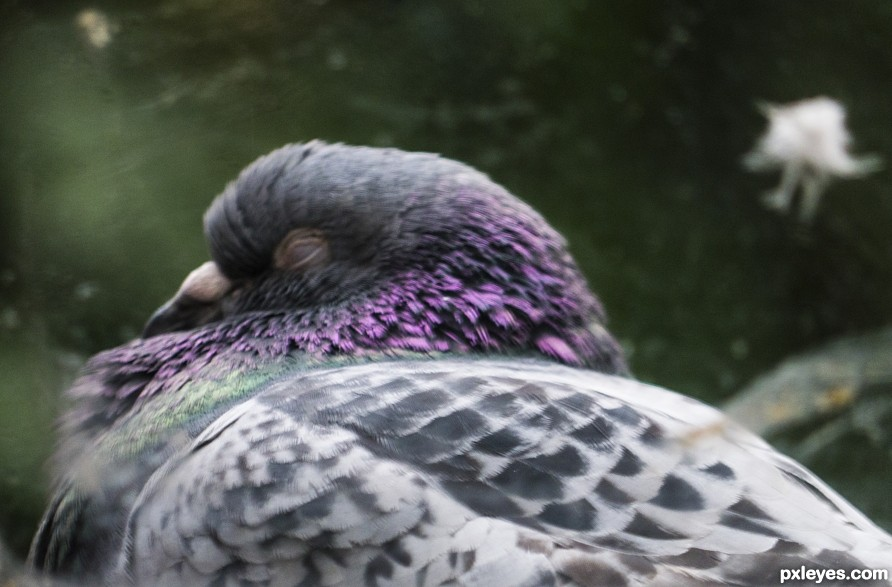 In Pigeon Dreamland