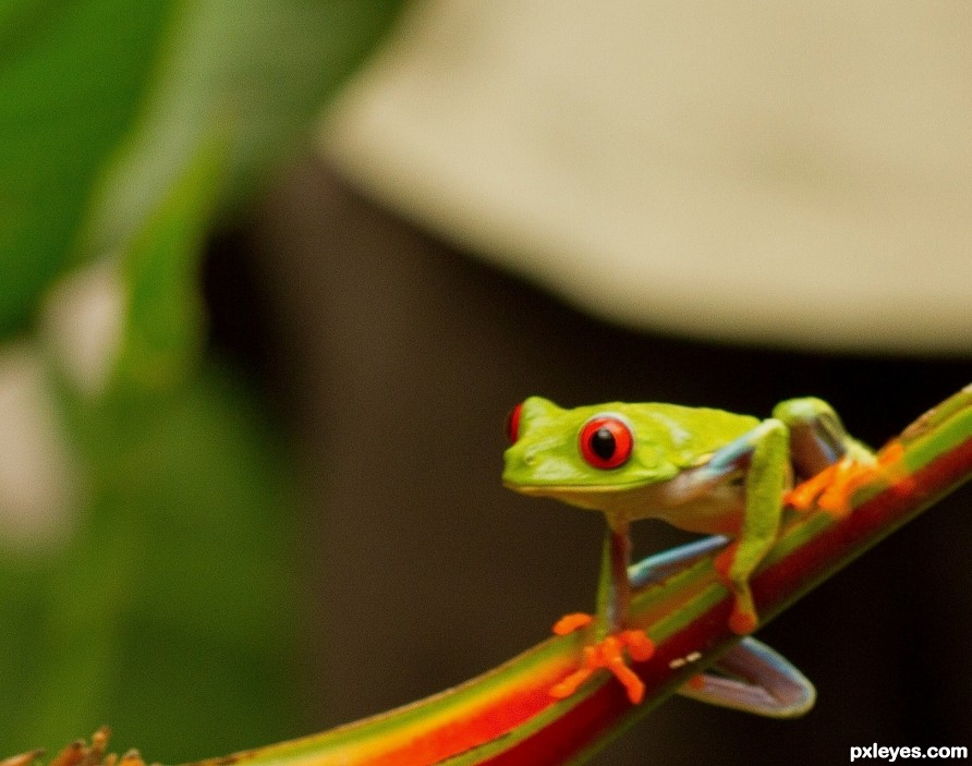 red eyed tree frog photography picture