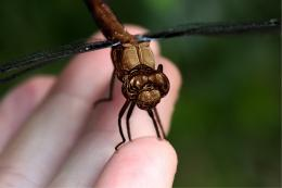 chocolate dragonfly Picture