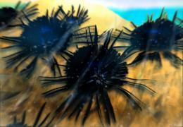 sapphire urchin