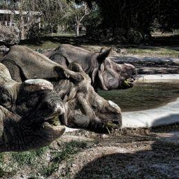 RhinoTriplets