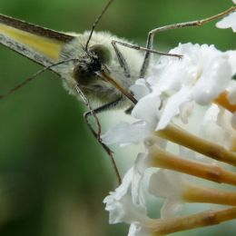 Butterflyonabuddleia
