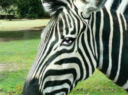 Zebra eye Picture